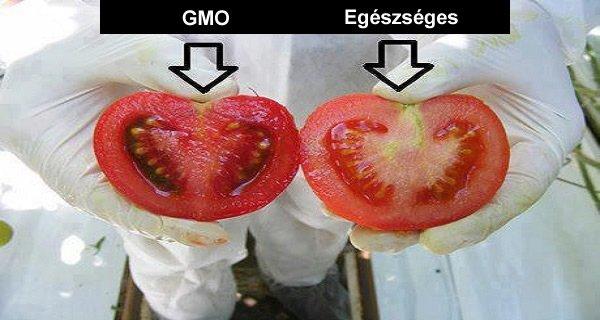 GMO paradicsom