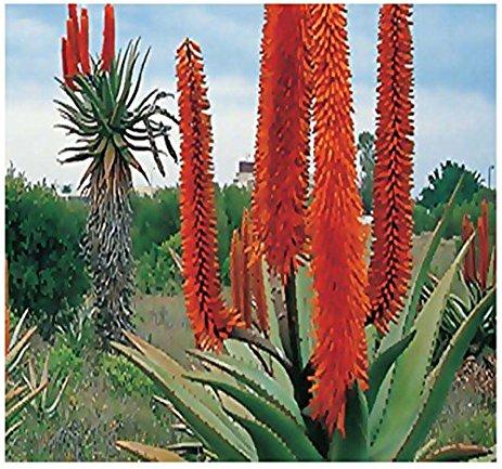 Red Aloe vásárlás