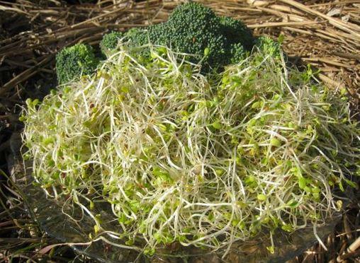 Brokkolicsíra kapszula flavin7 60db