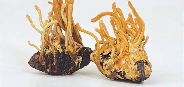 Myco Crystal Cordyceps – Kínai hernyógomba gyógygomba